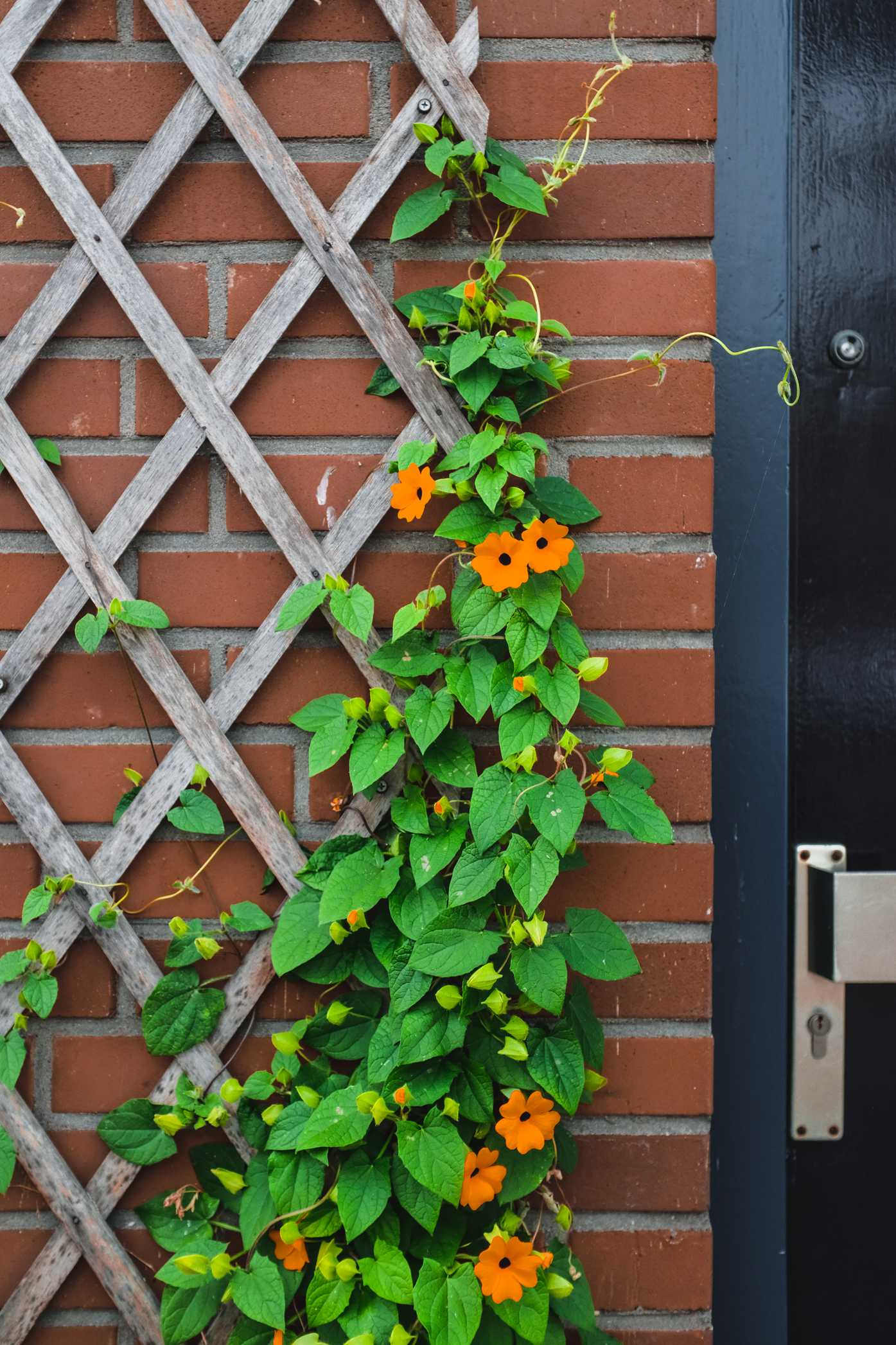 Vine with flowers climbing a trellis