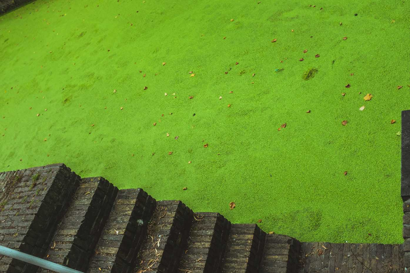 A canal covered in bright-green duckweed