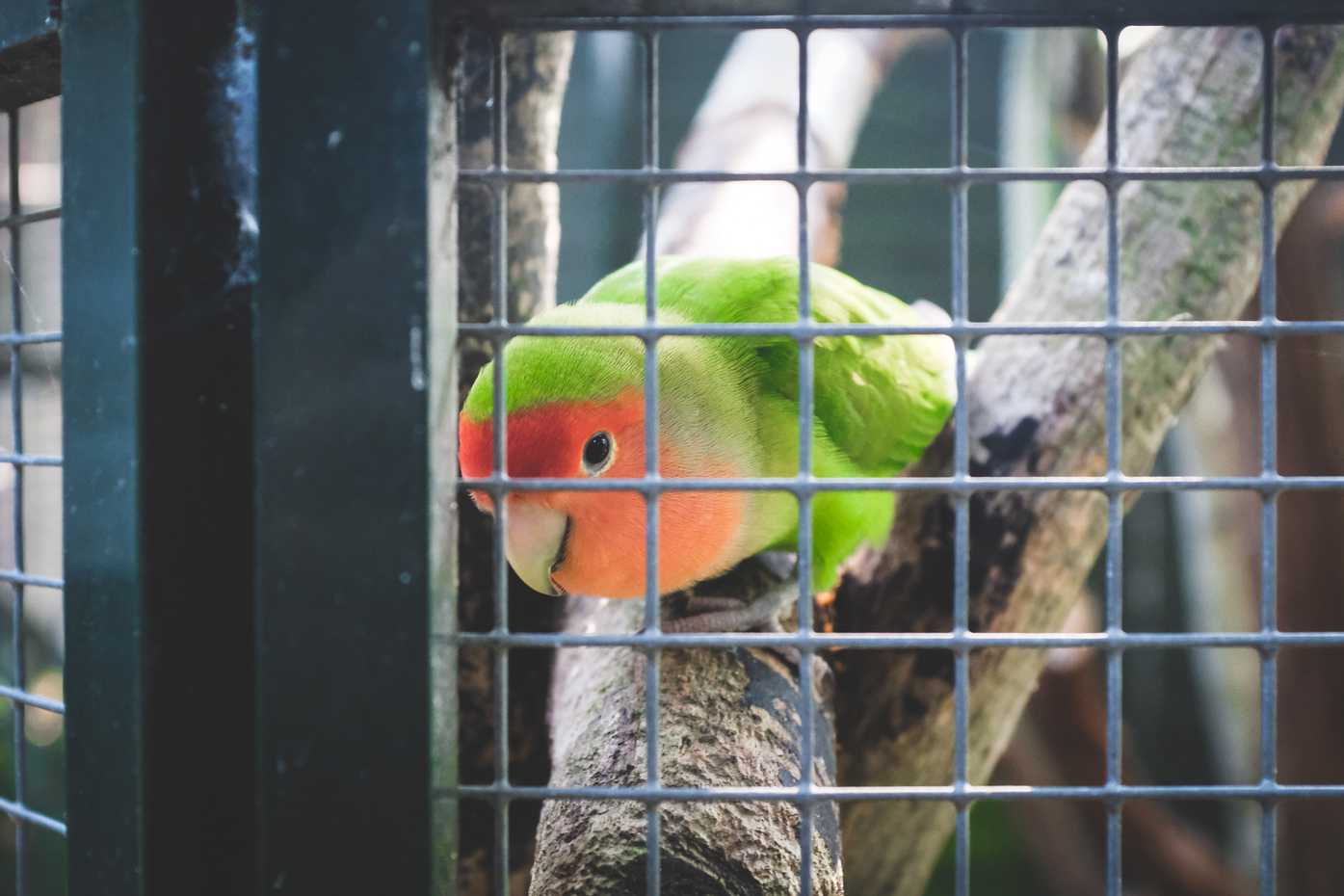 A small parrot in a cage